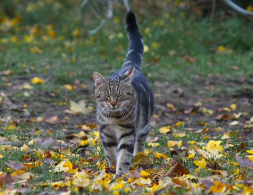 cat walking in fall leaves